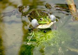 grenouille-de-face.jpg